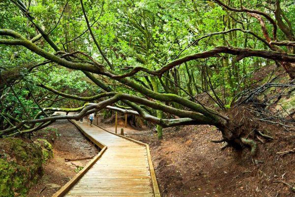 Az Anaga Nemzeti Parkban túraösvényeken csodálhatjuk meg a babérerdőt