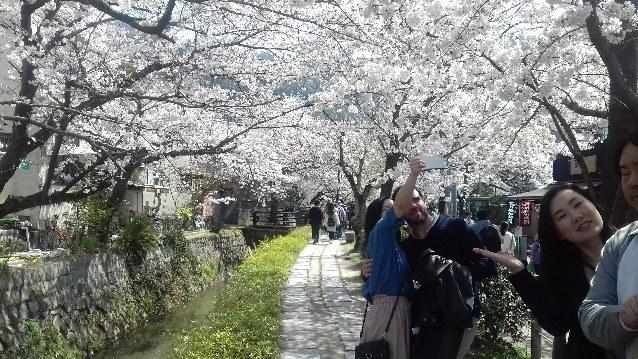 Virágzó cseresznyefák hosszú sora
