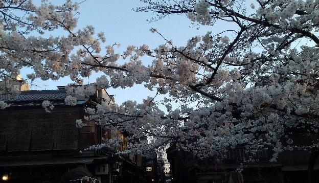 A cseresznyefa virágzása Japán egyik csodája