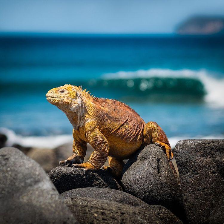 A leguán Galápagos-szigetek legismertebb állata