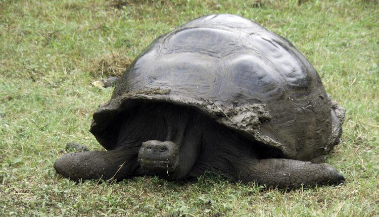 Az óriásteknősök hatalmasra nőnek