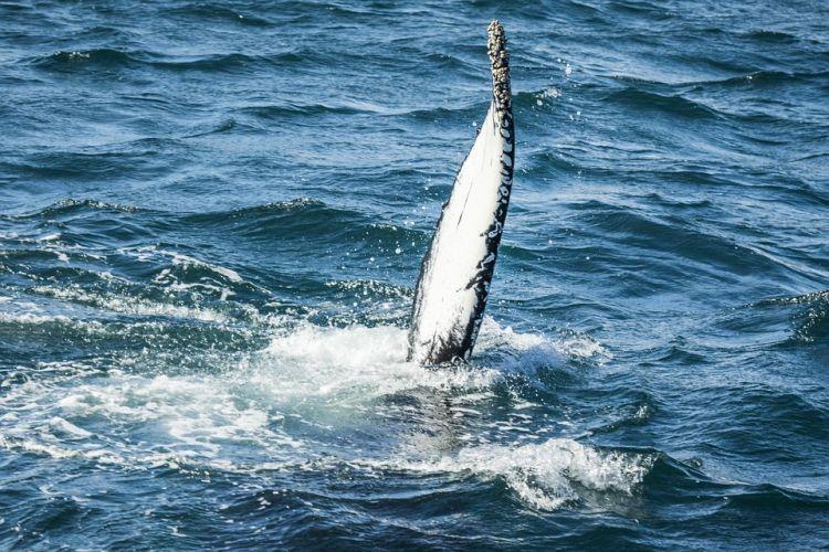 Egy izlandi utazás egyik legnagyobb élménye lehet a bálnales