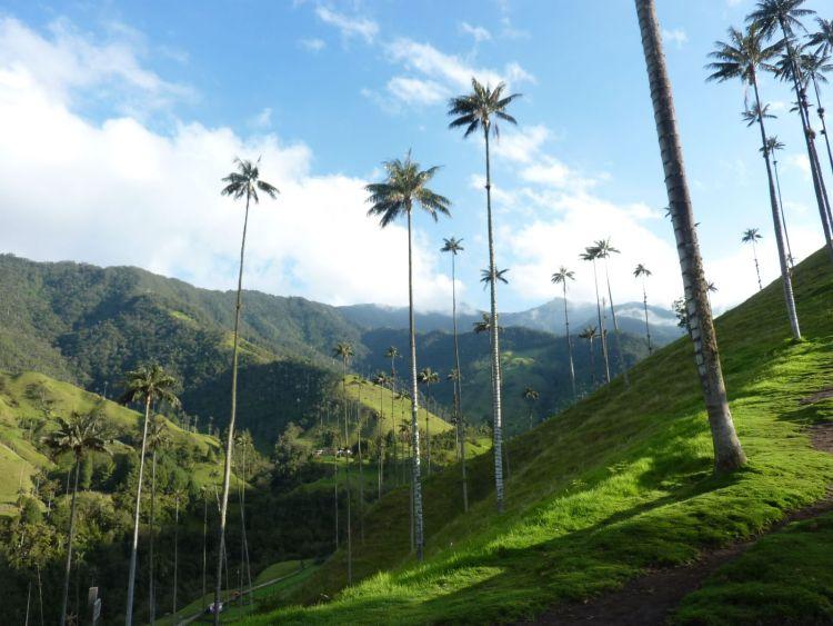 A világ legnagyobb pálmafái